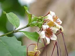 cây strophanthus
