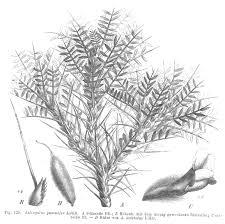 cây chứa gôm