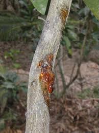gôm trên thân cây