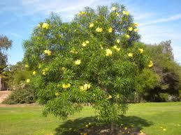 cây thông thiên
