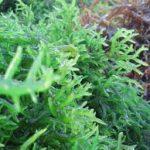cây tảo biển