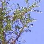cây lấy gôm adragant