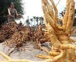 rễ cây dâu tằm