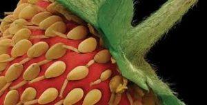 quả dâu tây nhìn bằng kính hiển vi